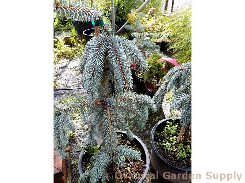 Picea pungens 'Slenderina Pendula'