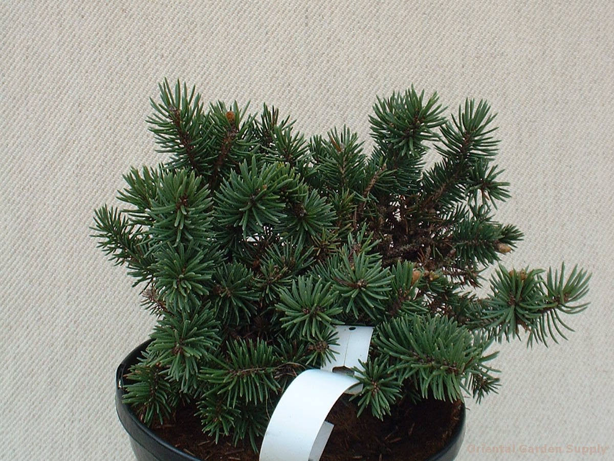 Picea pungens 'Victor'