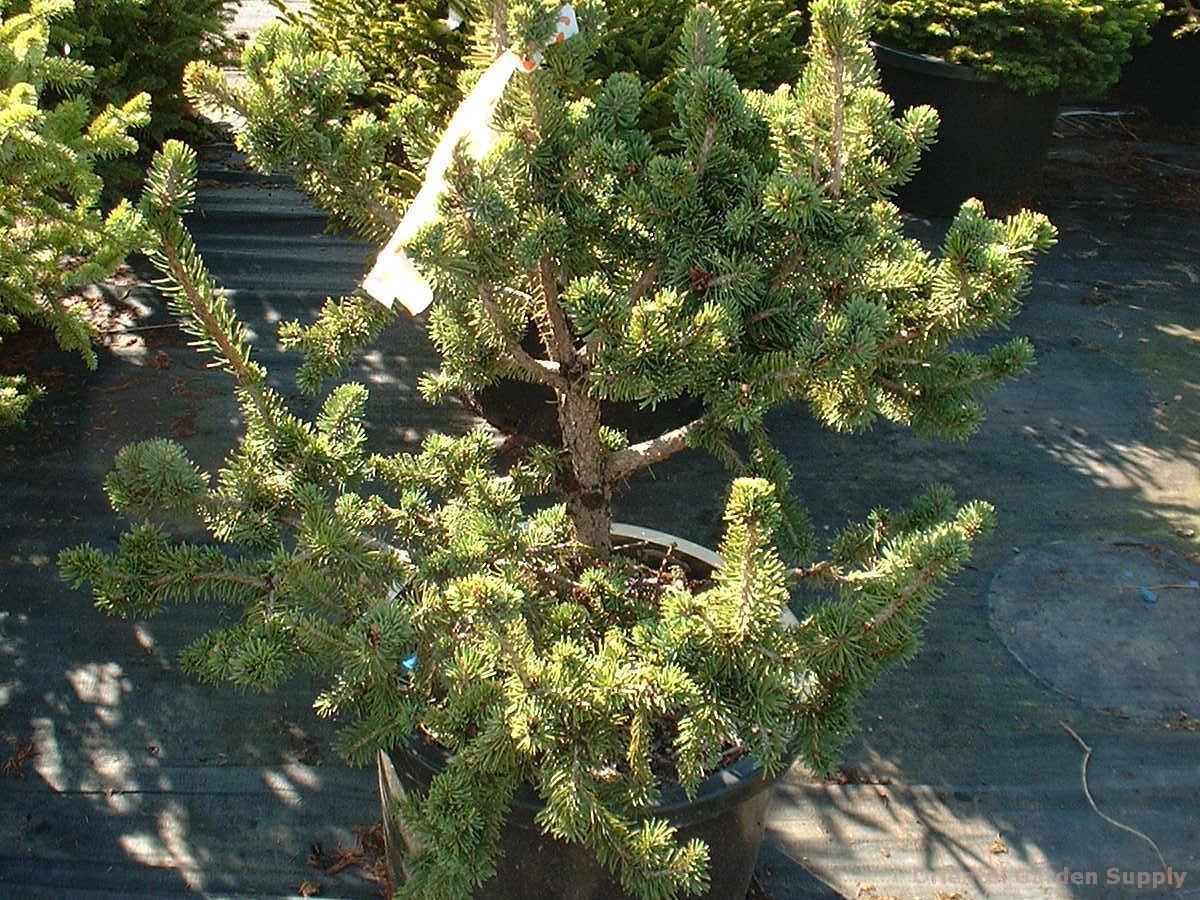 Picea rubens 'HB'