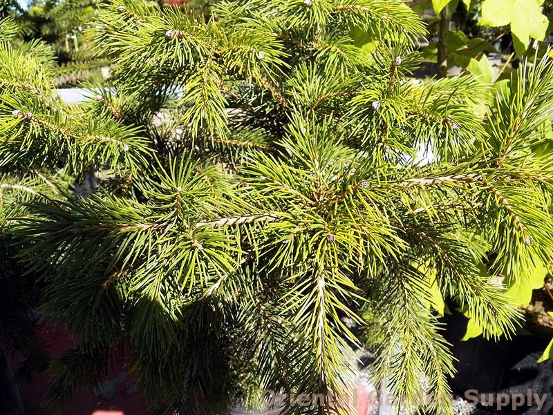 Picea schrenkiana 'Nana'