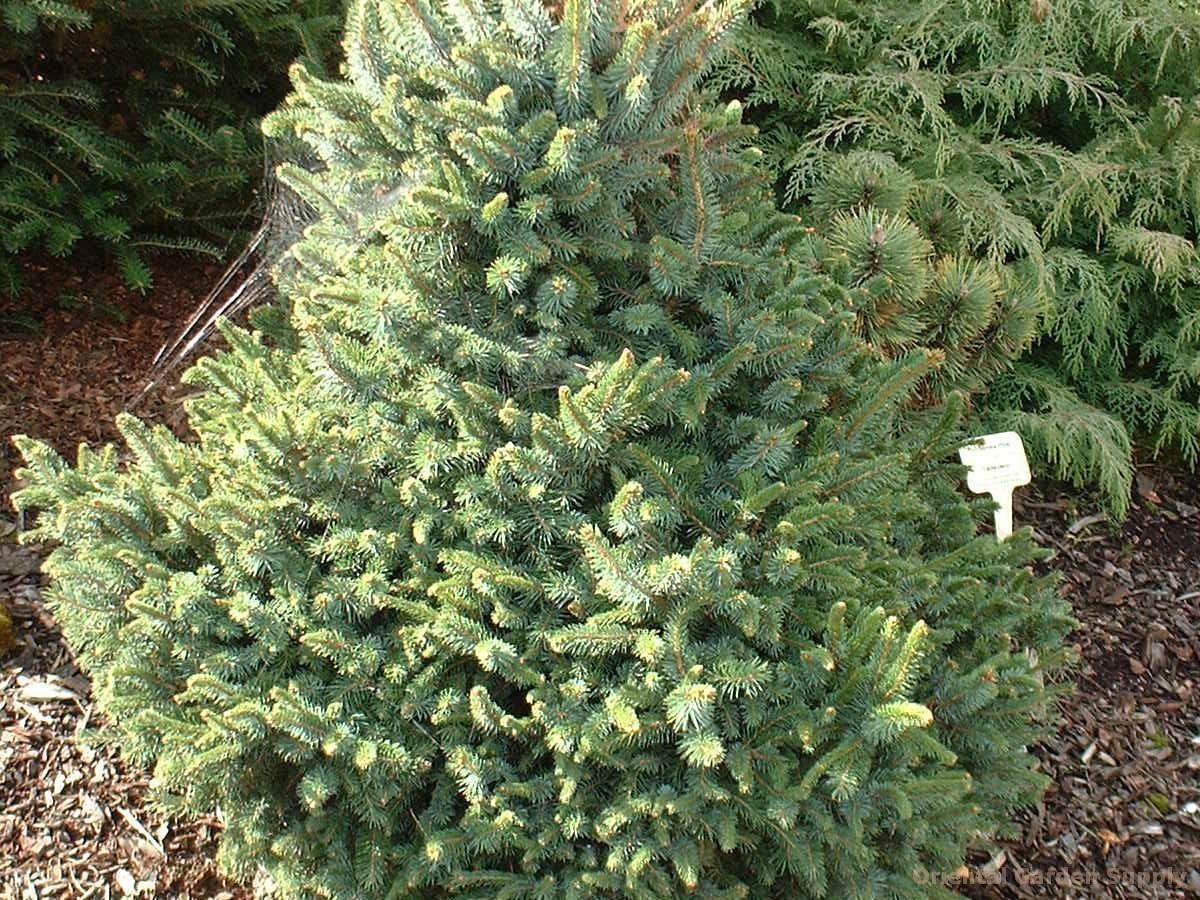 Picea sitchensis 'Sugar Loaf'