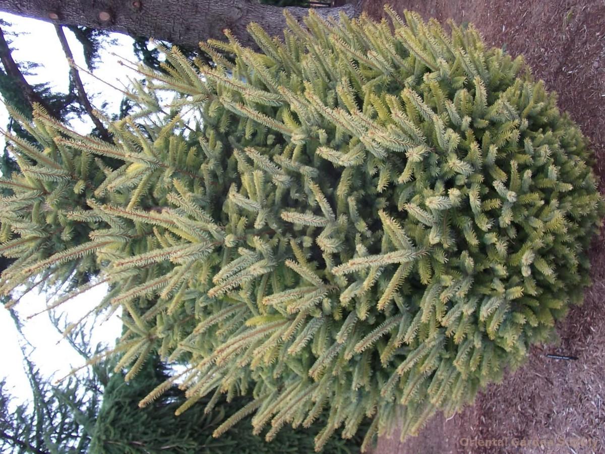 Picea sitchensis 'Aurea'