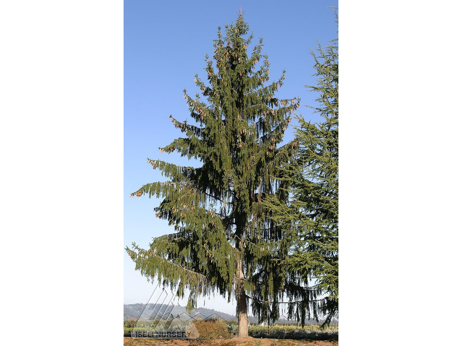 Picea abies 'Pendula Giant'