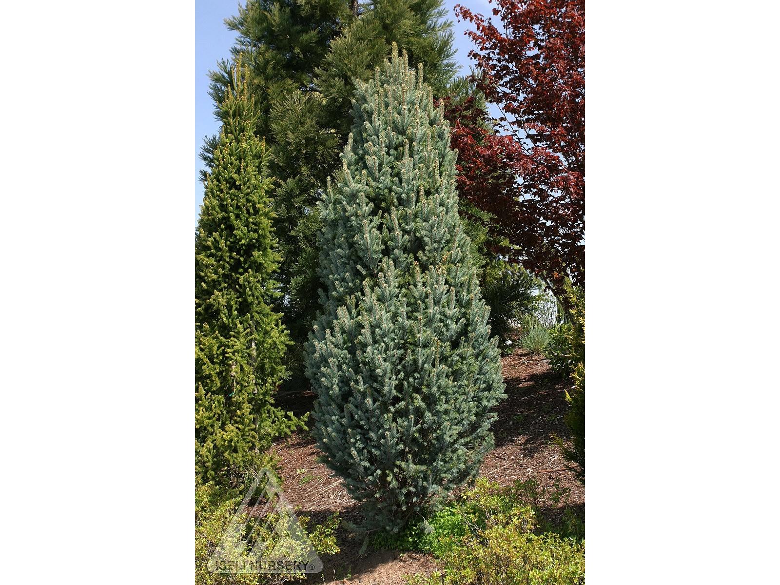 Picea pungens 'Glauca Iseli Fastigiata'