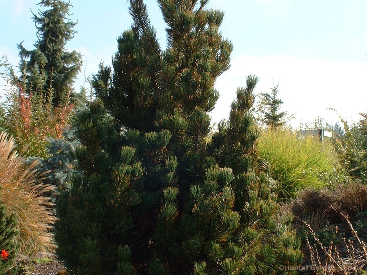 Pinus albicaulis '#1 Dwarf'