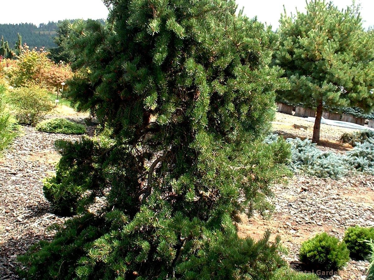 Pinus banksiana 'Pendula'