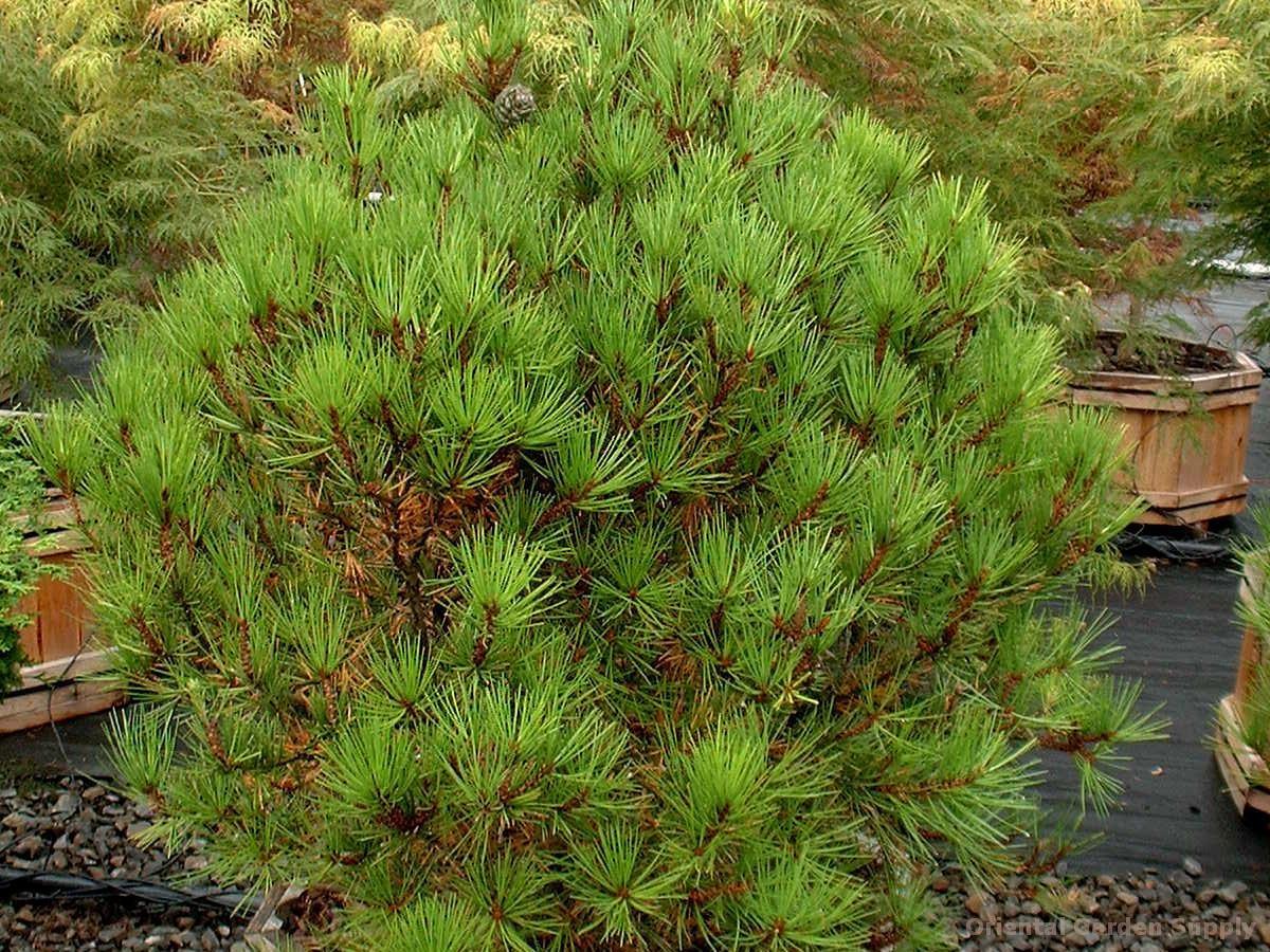 Pinus bungeana 'Temple Gem'