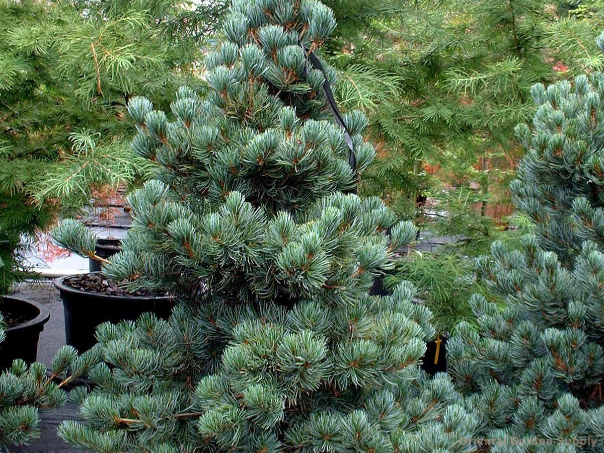 Pinus cembra 'Glauca Nana'