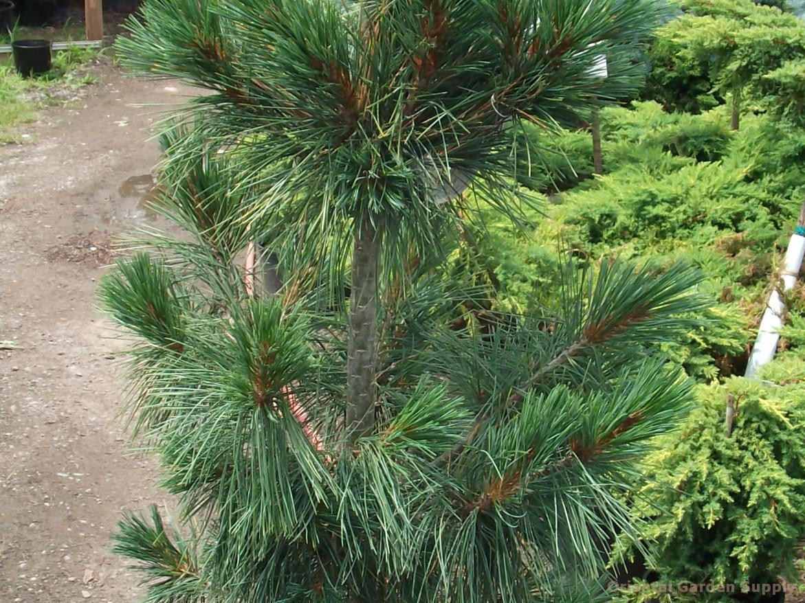 Pinus cembra 'Silver Whispers'