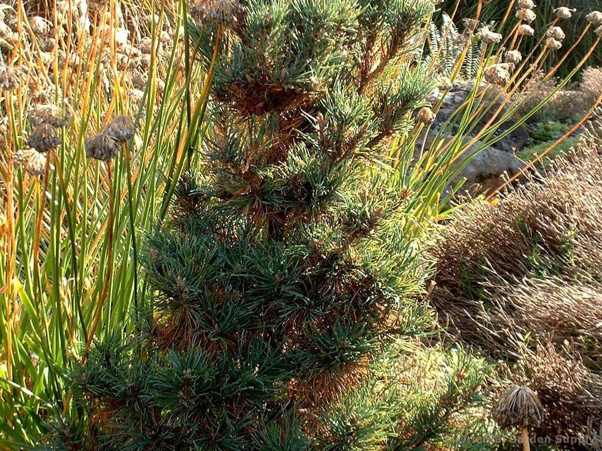 Pinus cembra 'Pygmaea'