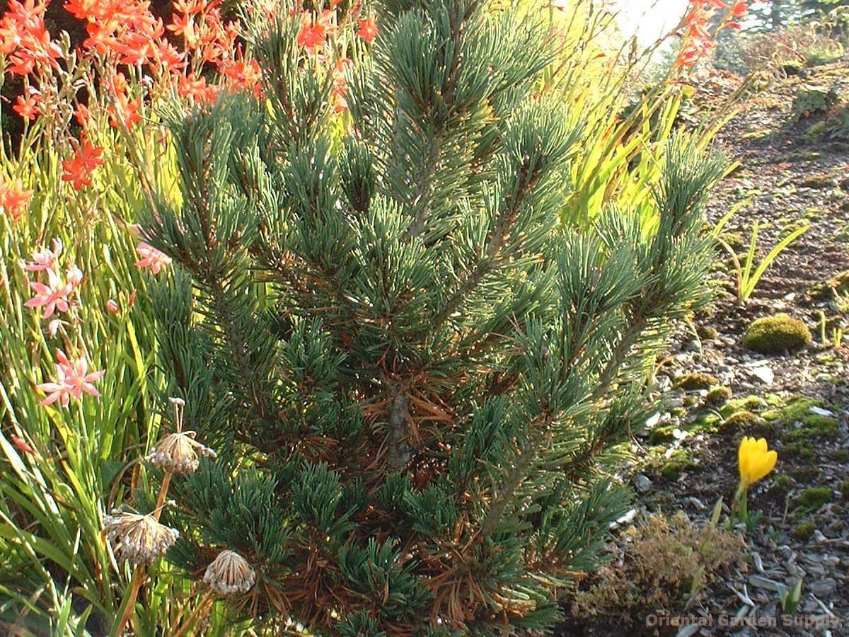 Pinus flexilis 'DuFunny'