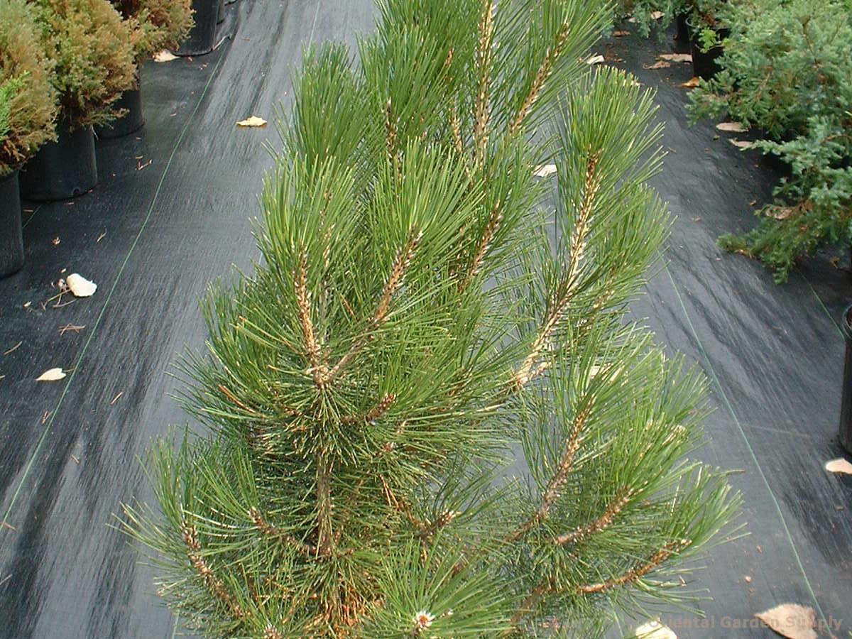 Pinus heldrechii var. leucodermis