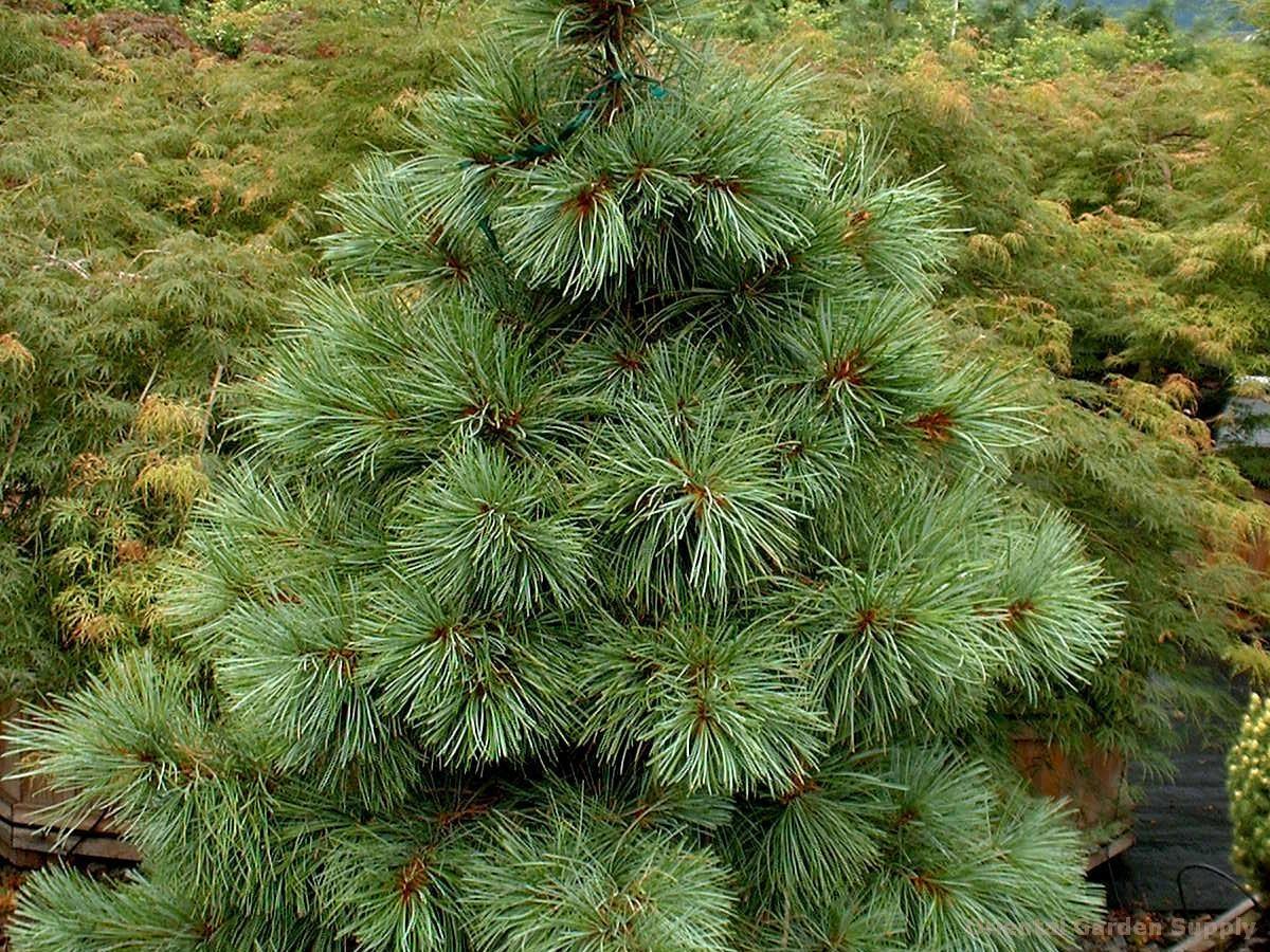 Pinus koraiensis 'Dwarf'