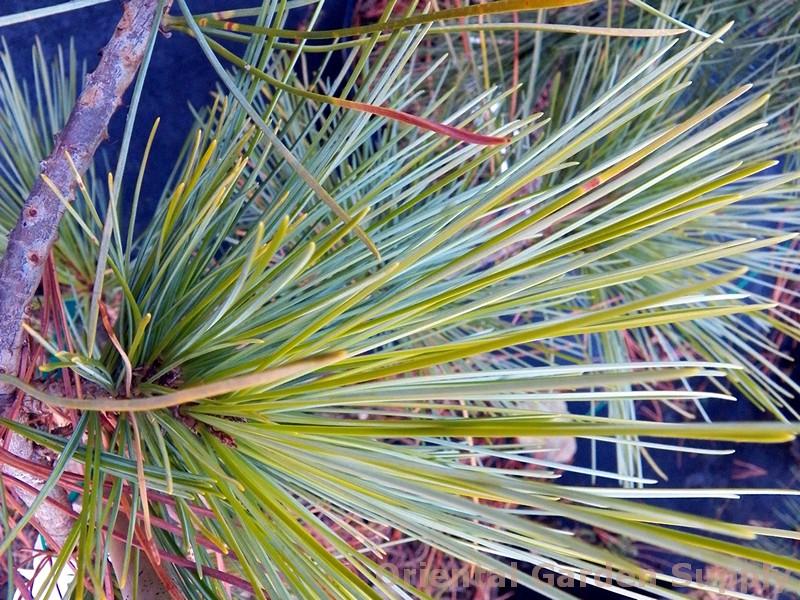 Pinus koraiensis 'Winton'