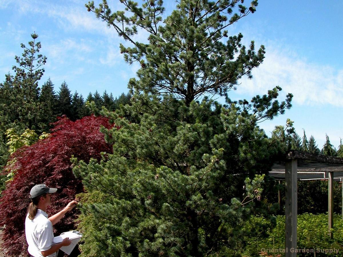 Pinus kwangtungensis
