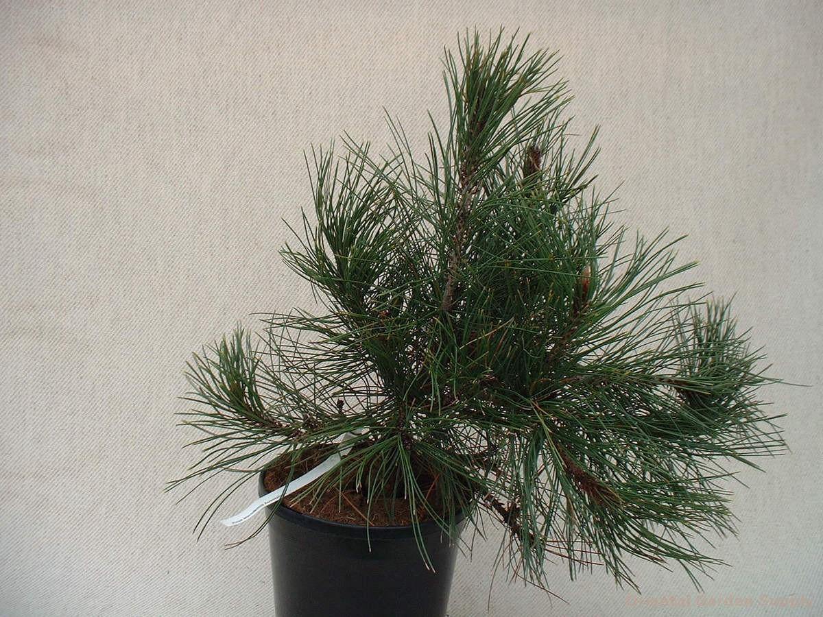 Pinus leucodermis 'Aureospicata'