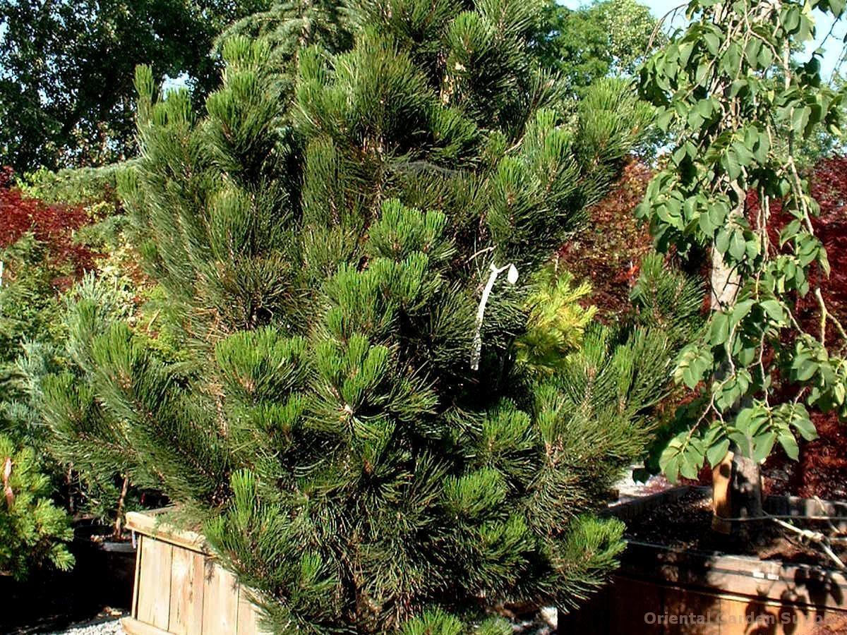 Pinus leucodermis 'Satellite'