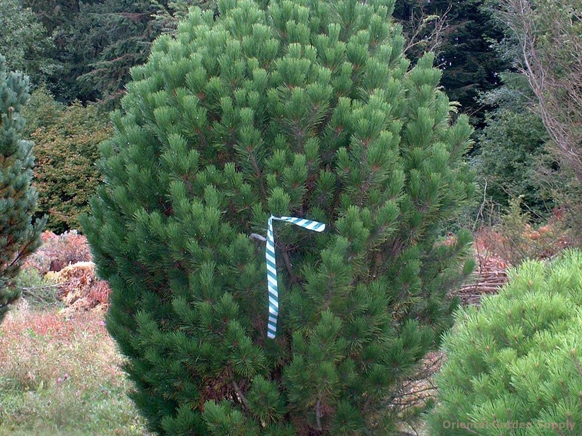 Pinus mugo 'Big Tuna'