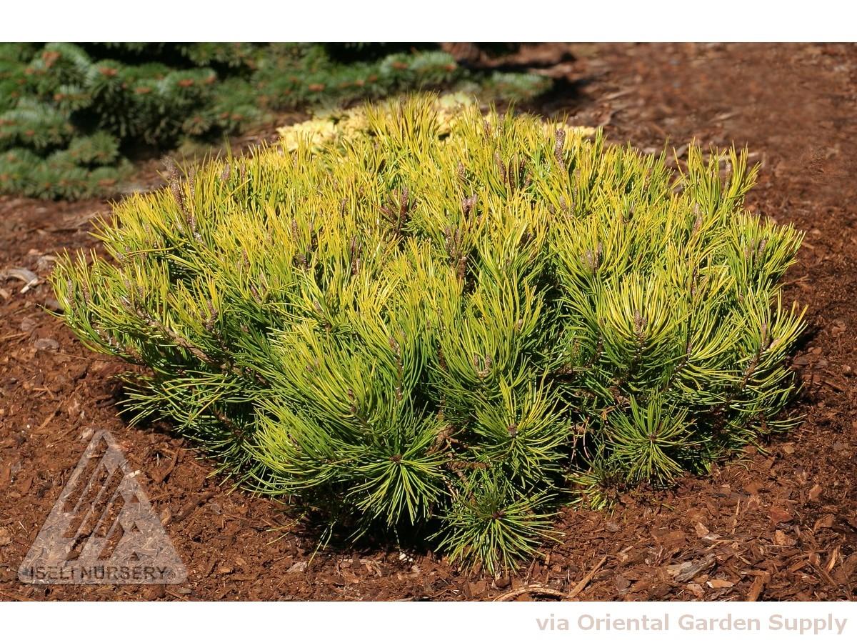 Pinus mugo 'Aureum'