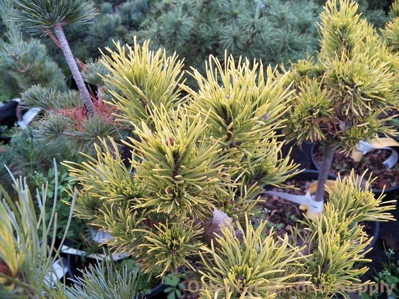 Pinus mugo 'Carstens Winter Gold'