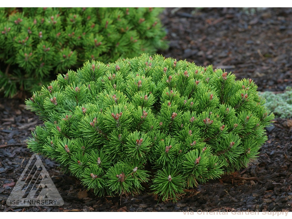 Pinus mugo 'Teeny'