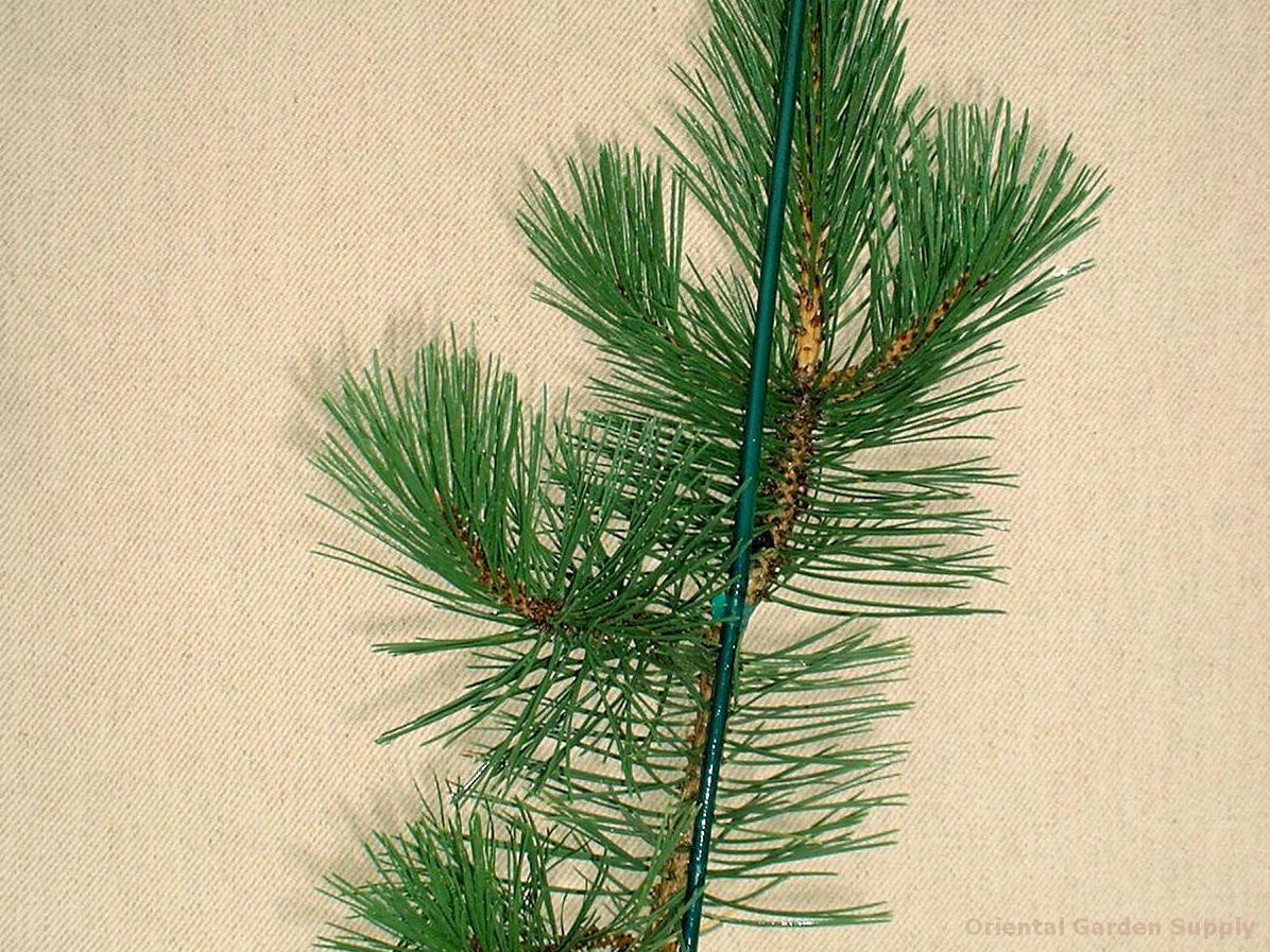 Pinus nigra 'Jeddeloh'