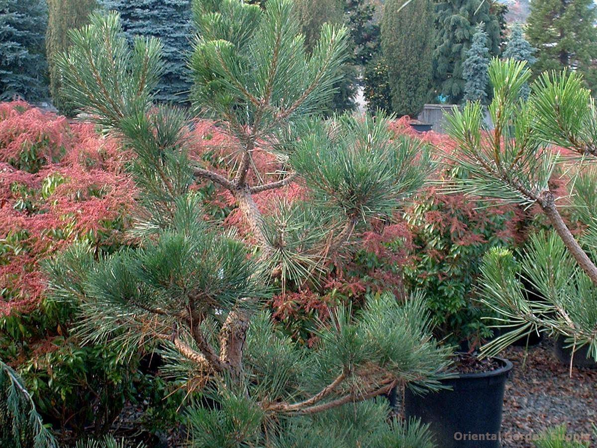 Pinus parviflora 'Arakawa' (warted)