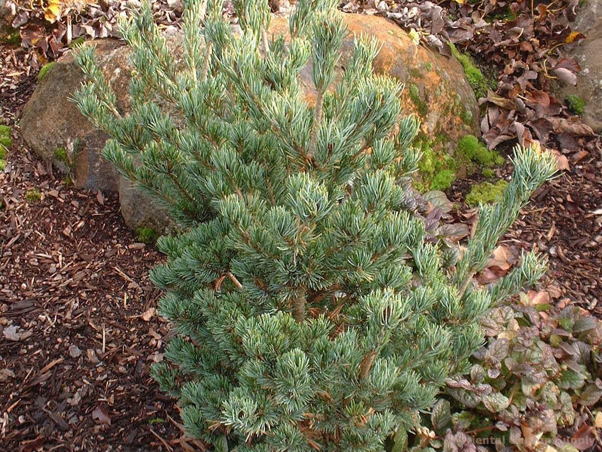 Pinus parviflora 'Azuma goyo'