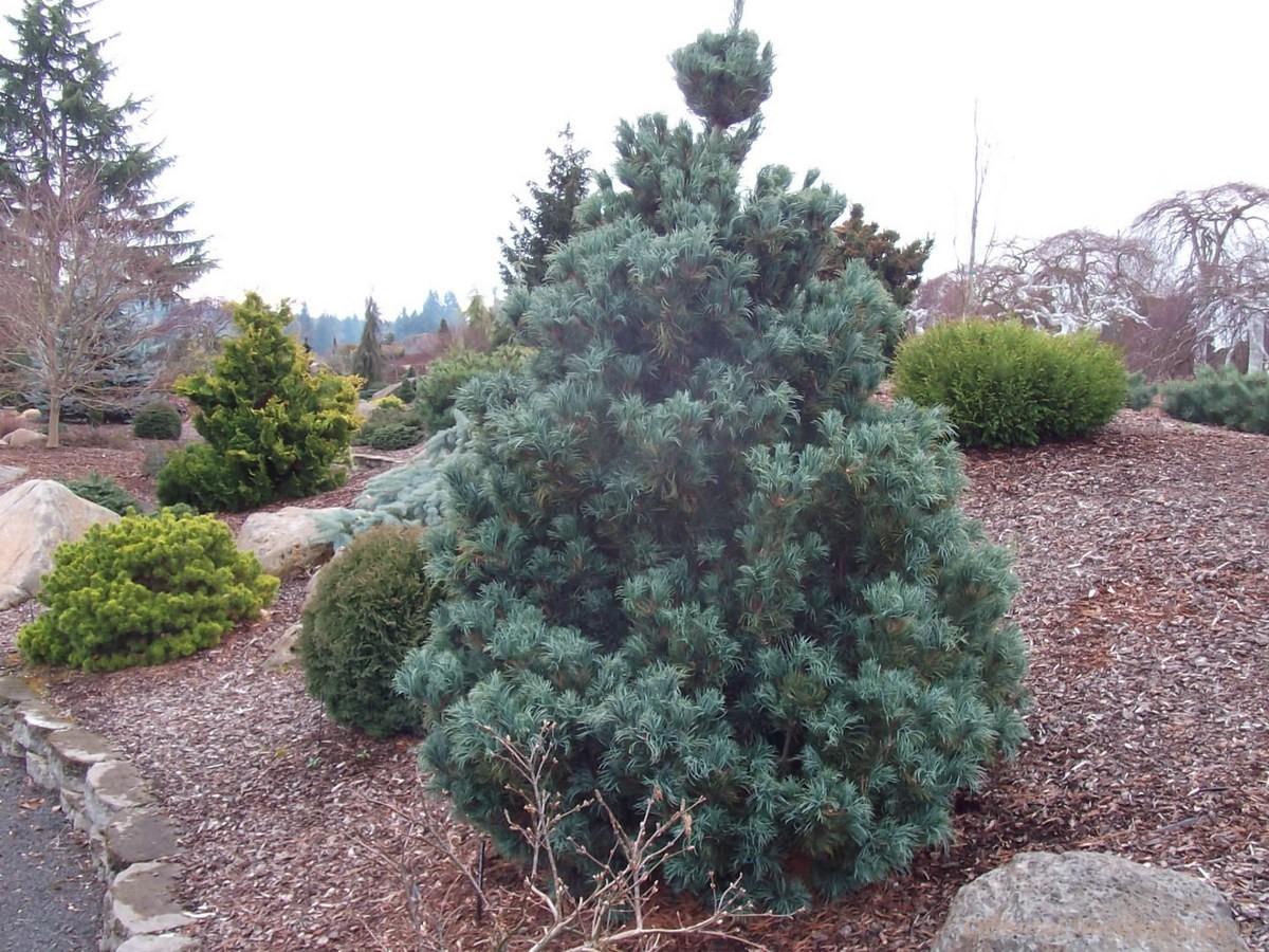 Pinus parviflora 'Bergmanii'
