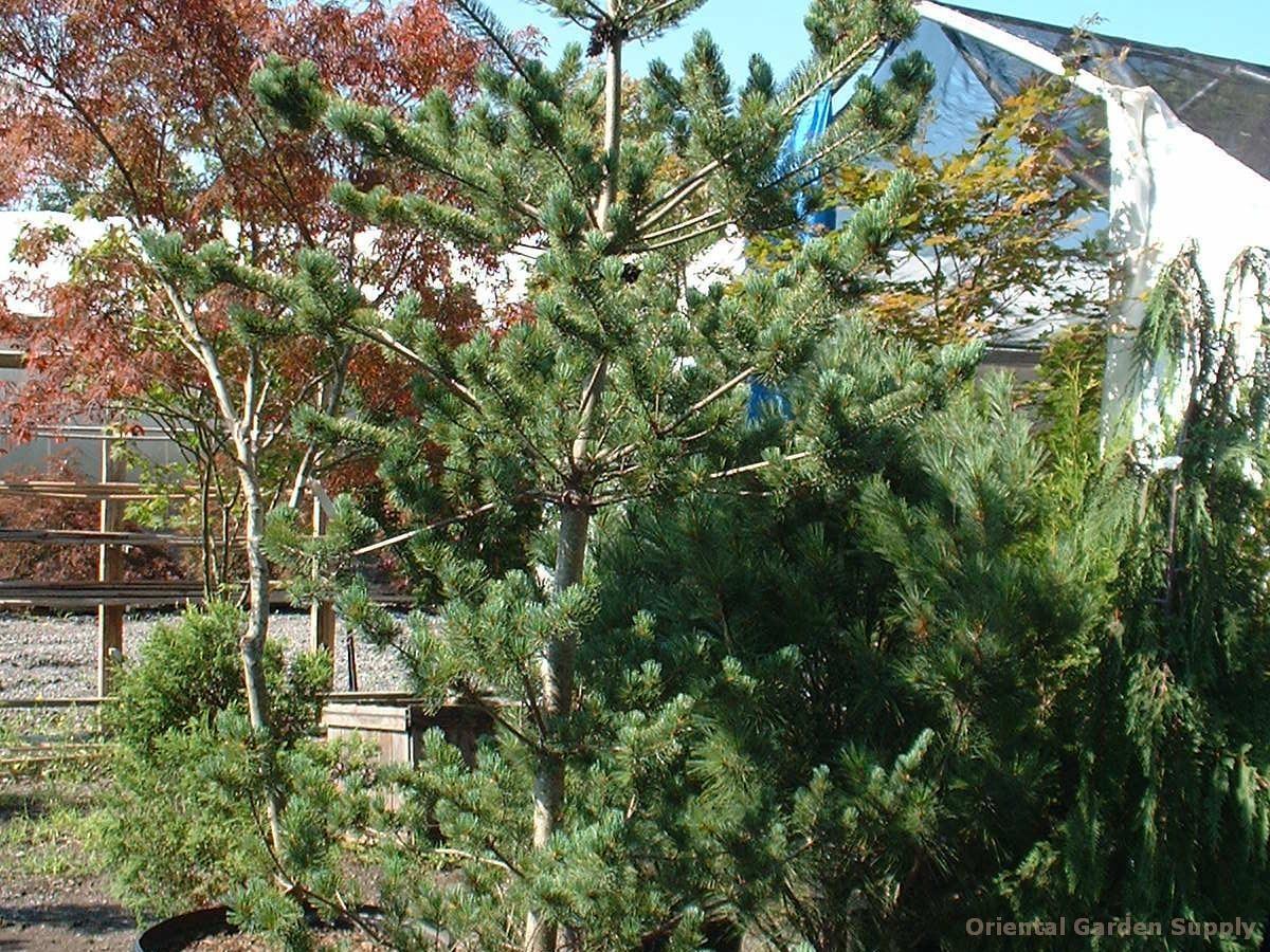 Pinus parviflora 'Brevifolia'