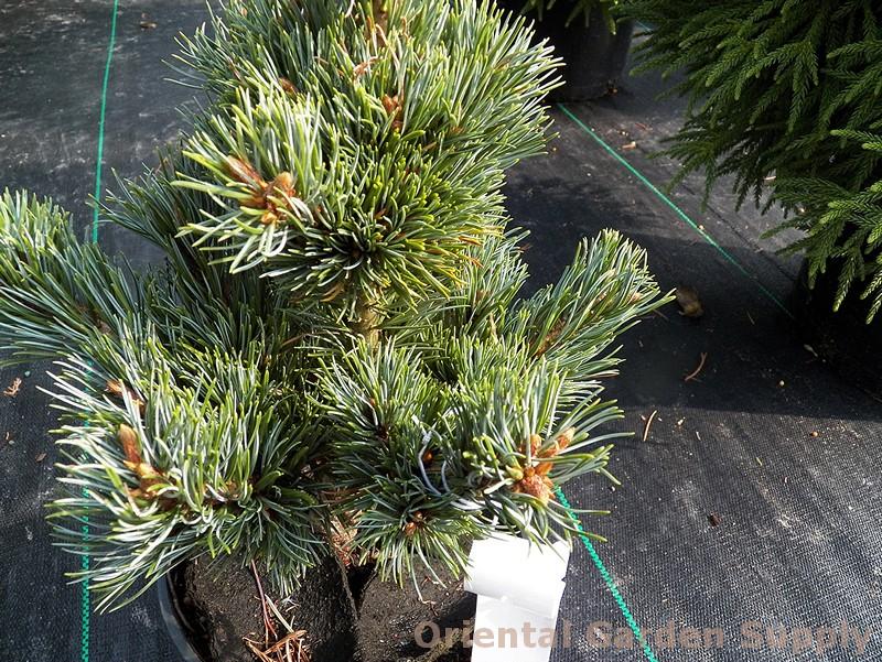 Pinus parviflora 'Catherine Elizabeth'