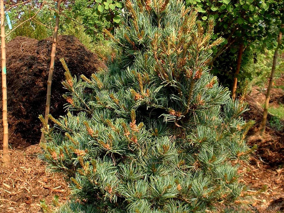 Pinus parviflora 'Eiko nishiki'