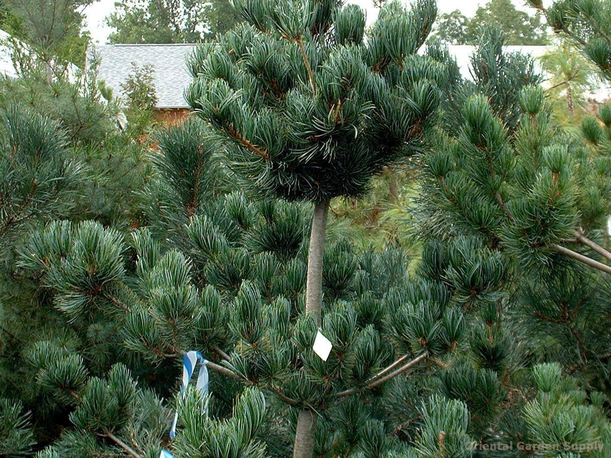 Pinus parviflora 'Glauca Nana'