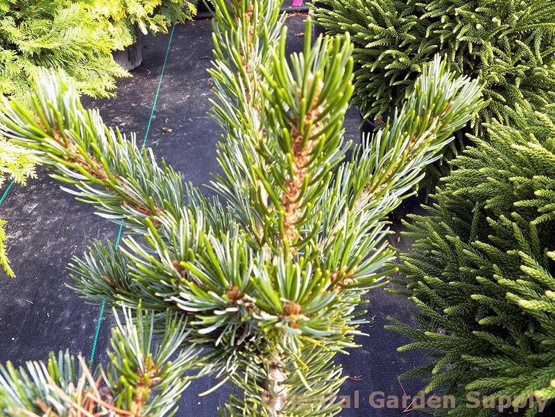 Pinus parviflora 'Gyoko sho hime'
