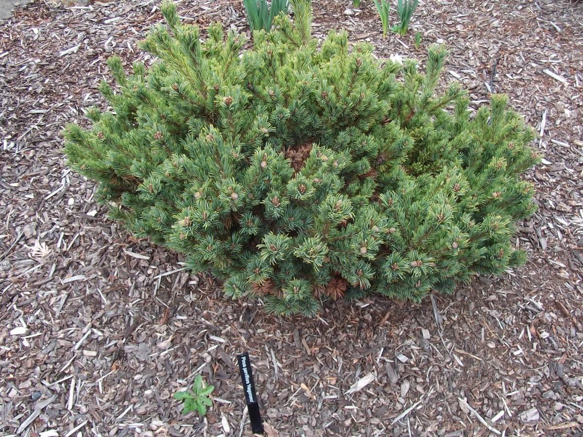Pinus parviflora 'Hagarumo'