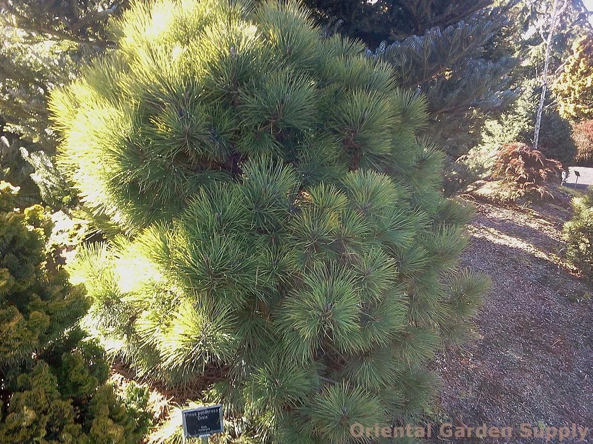 Pinus ponderosa 'Dixie'