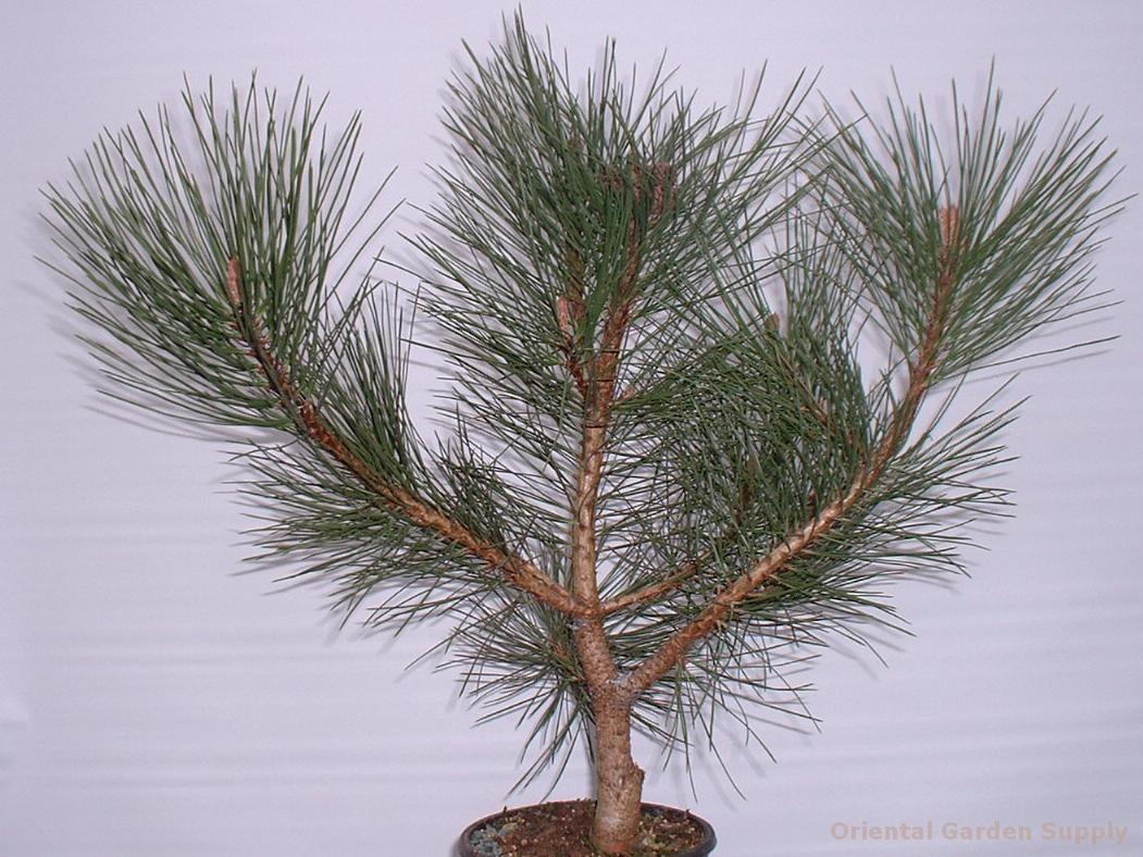 Pinus ponderosa 'Hi Desert'