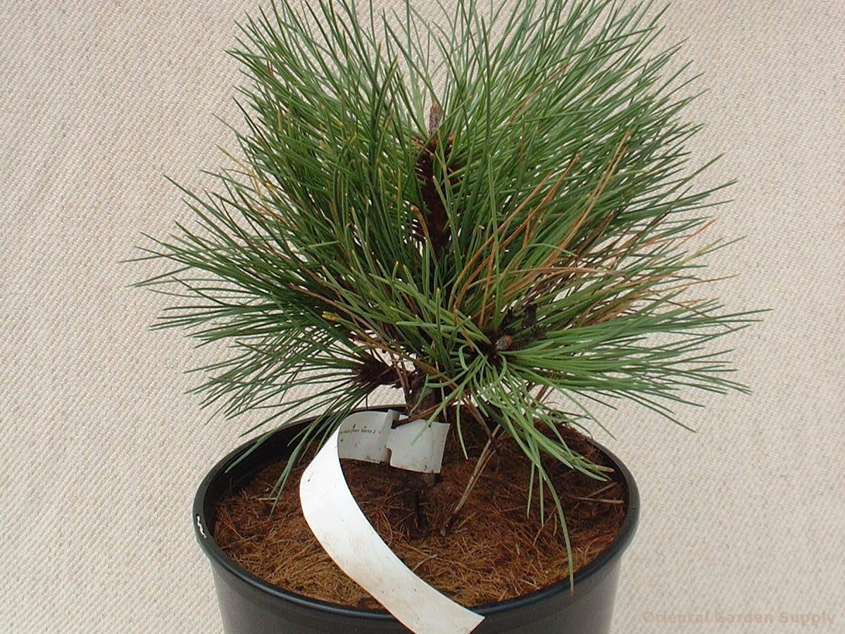 Pinus ponderosa 'Margarette'