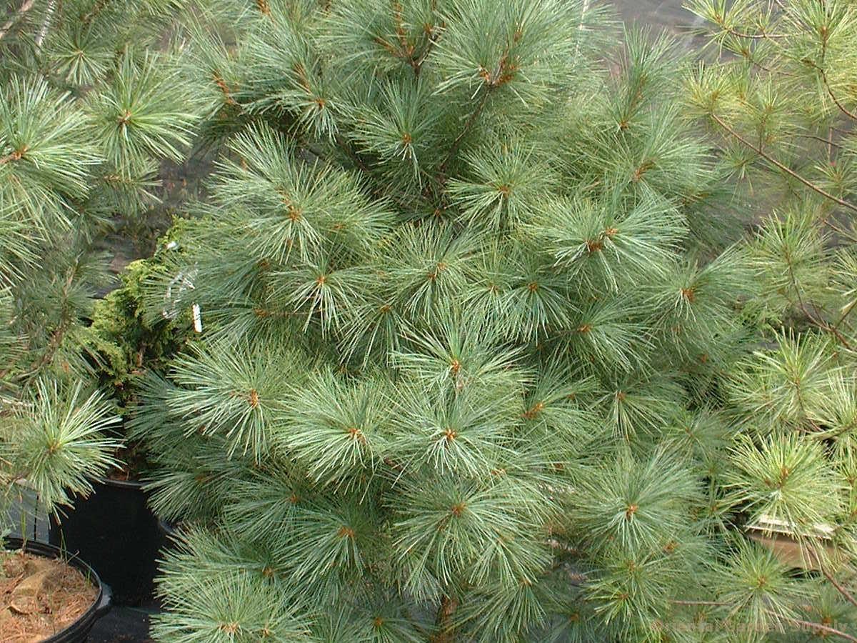 Pinus strobus 'Alba'