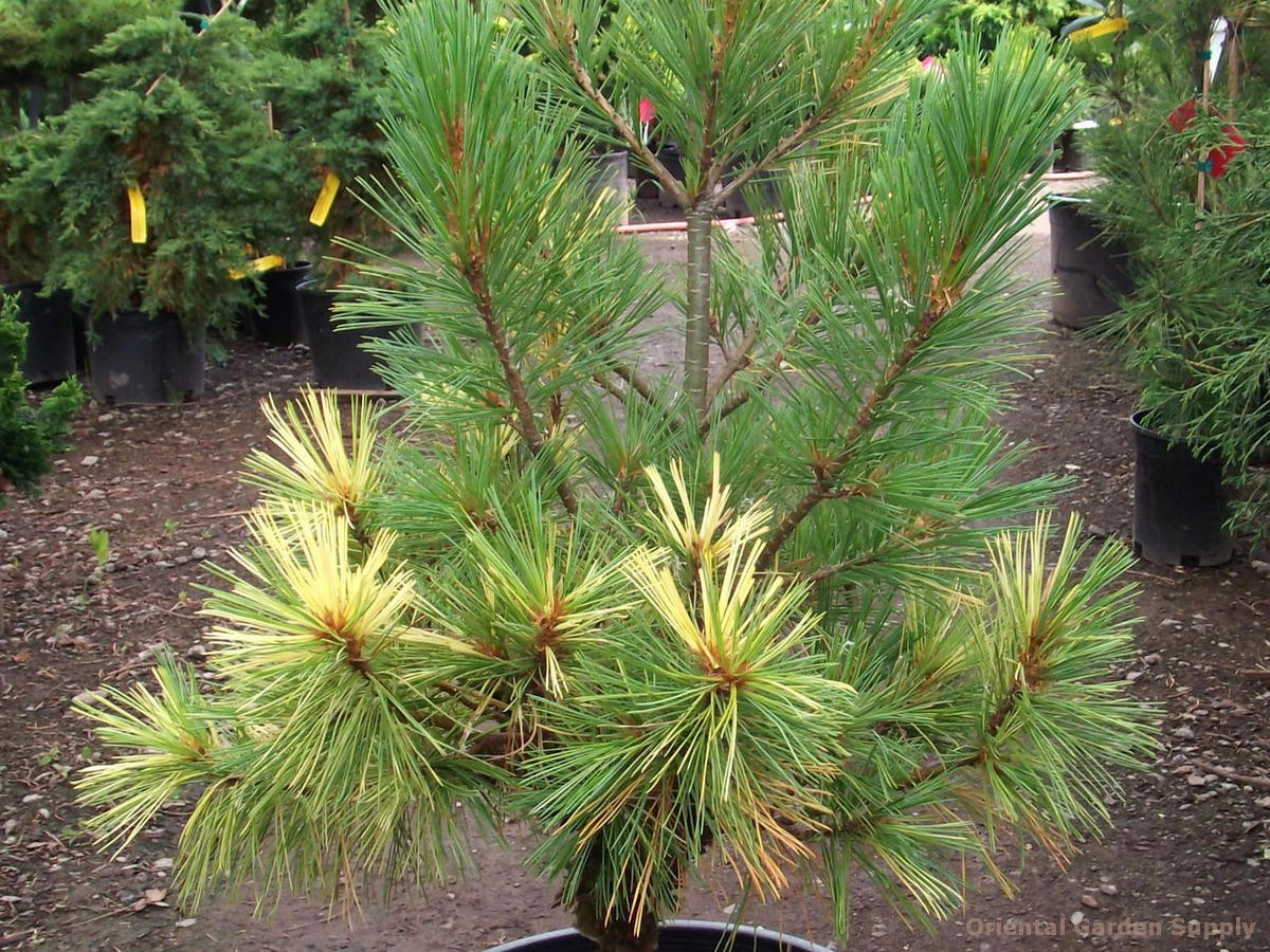 Pinus strobus 'Golden Candles'