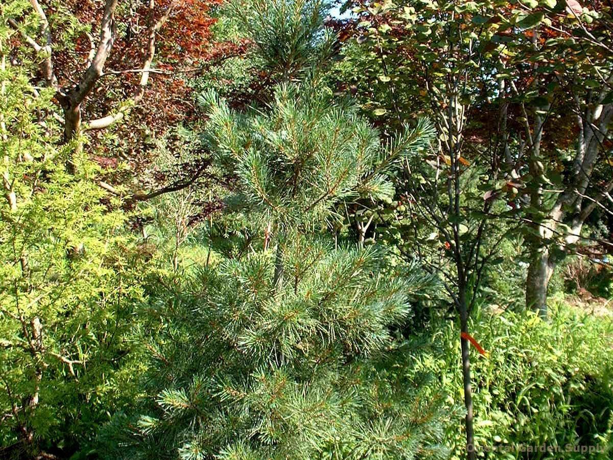 Pinus strobus 'White Mountain'