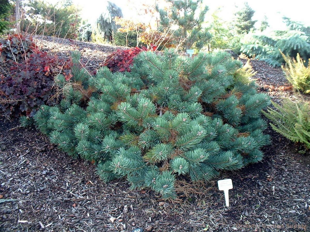 Pinus sylvestris 'Albyn'