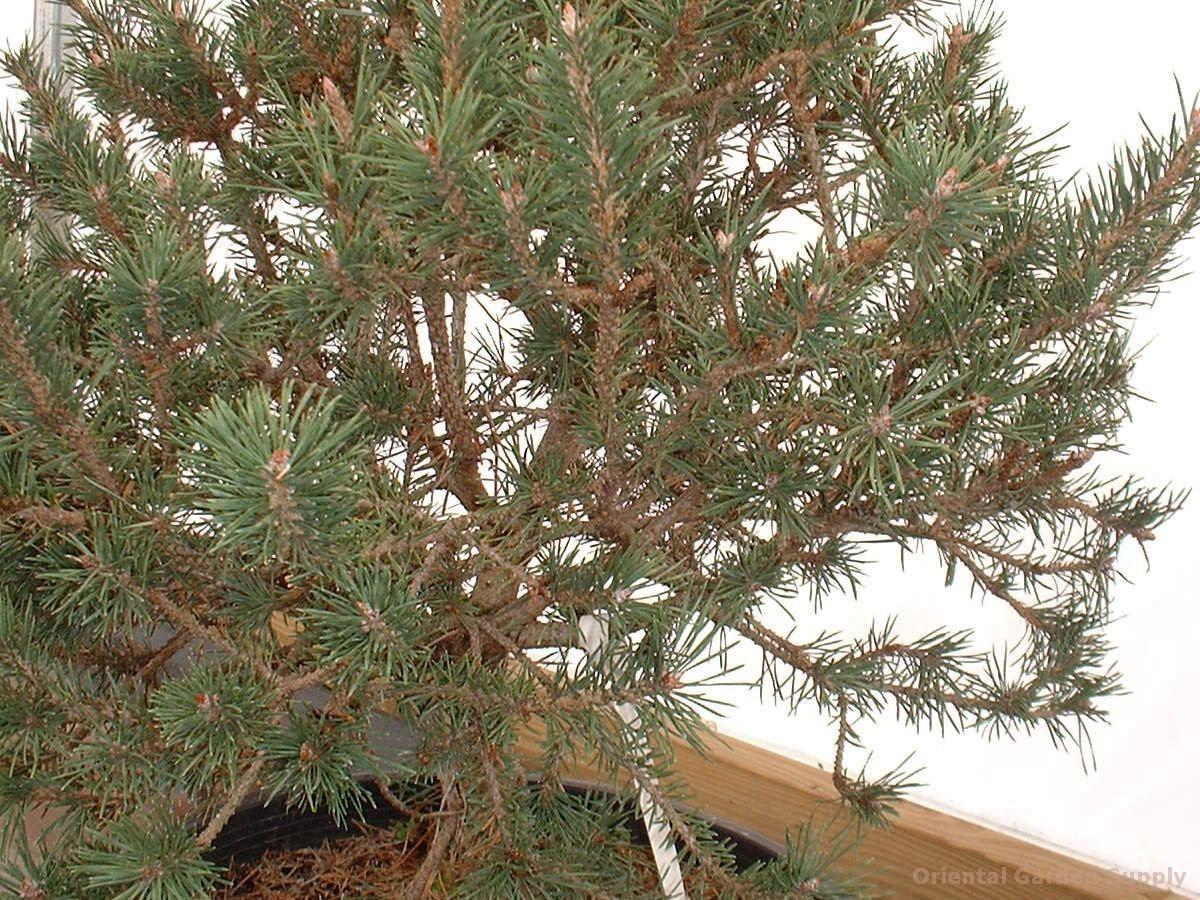 Pinus sylvestris 'Helms'