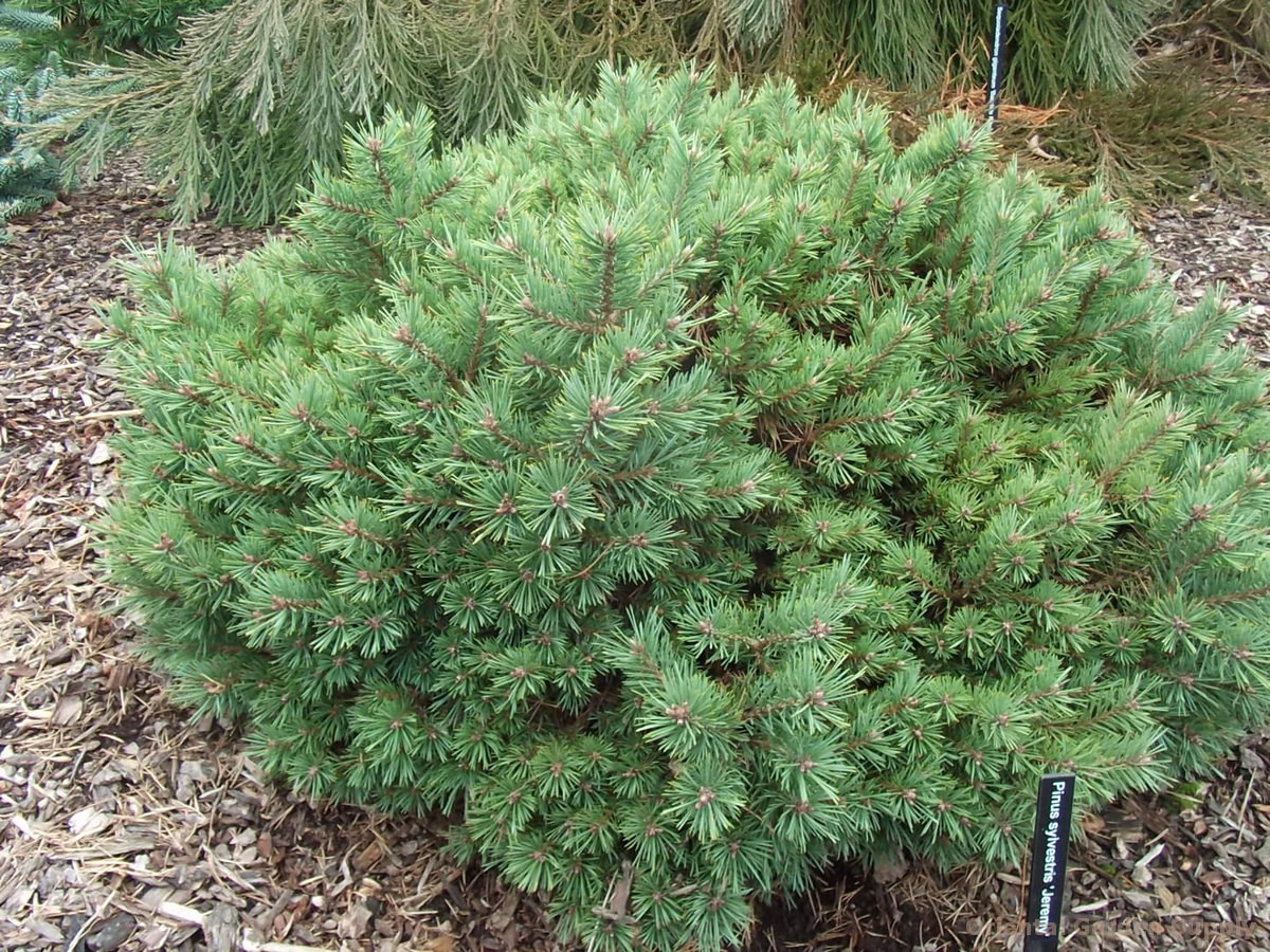 Pinus sylvestris 'Jeremy'
