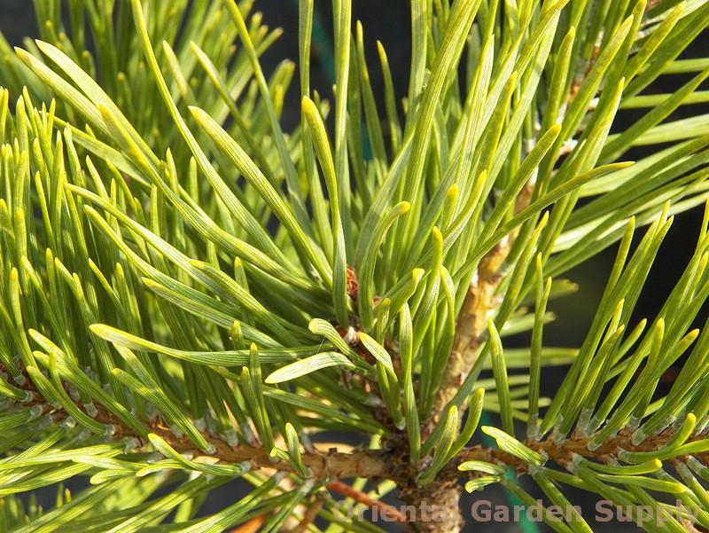 Pinus sylvestris 'Nisbet's Gold'