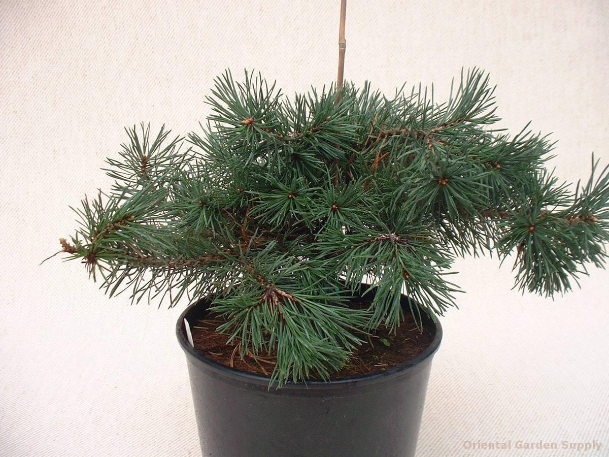 Pinus sylvestris 'Sport of Riverside Gem'