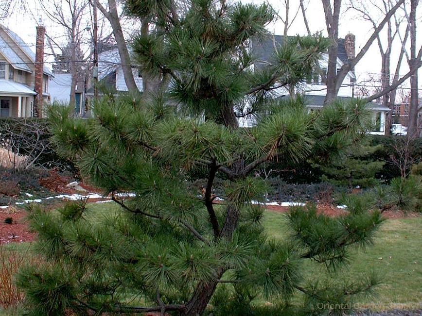 Pinus thunbergiana