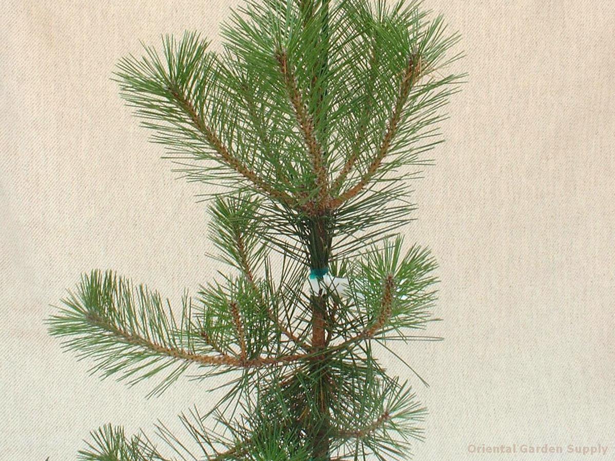 Pinus thunbergiana 'Gan Seki Sho Yatsubusa'