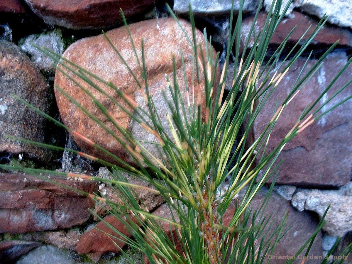 Pinus thunbergiana 'Kujaki'