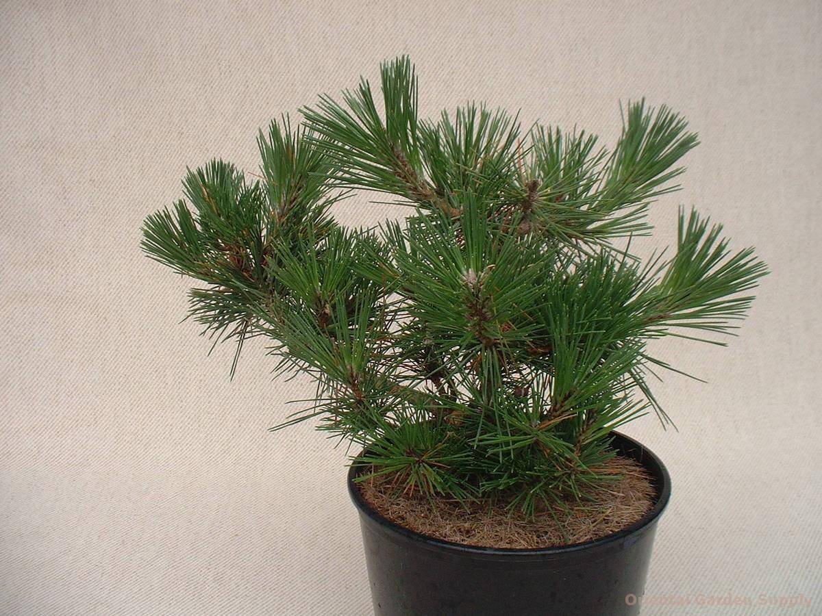 Pinus thunbergiana 'Kyokko Yatsubusa'